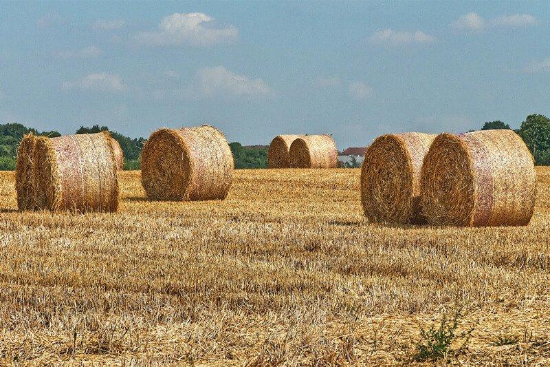 wheat straw waste