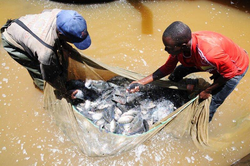 tilapia business in kenya